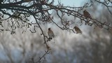 鶏冠の渡り鳥・レンジャクが華麗に羽ばたく様子をハイスピードで撮影._3 - 191463932