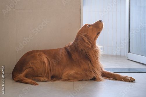 Golden Retriever to lie on the ground