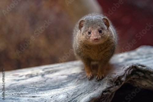 Foto op Canvas Natuur Dwarf mongoose from africa portrait