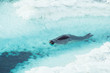 Weddel Seal in the Ross Sea, Antarctica