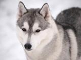 Husky dog outdoors - 191477124