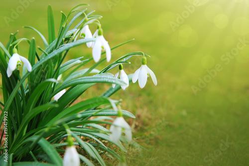 Deurstickers Natuur Snowdrop flowers in the spring garden.