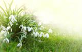 Snowdrop flowers background. - 191480195