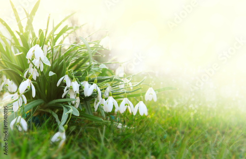 Foto op Canvas Natuur Snowdrop flowers background.