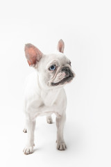 full length view of adorable french bulldog puppy standing isolated on white