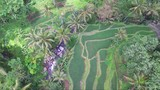 Birds eye aerial view of a Indonesian rice farming village - 191500134