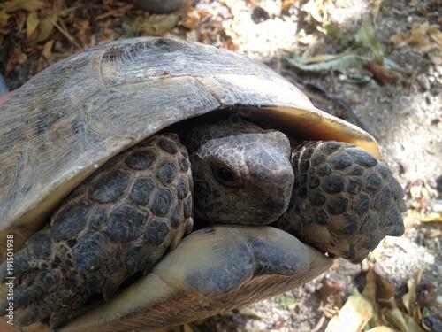Aluminium Schildpad Russian tortoise close up