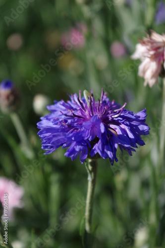 Foto op Canvas Lavendel fleur bleue