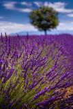 Lavendelfeld in der Provence - 191507169