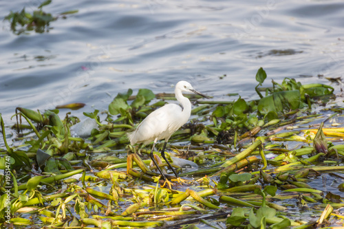 Fotobehang Thailand Eastern Great Egret walking in water And look for fish to eat.
