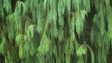 Drooping Needles of a Tropical Conifer Tree in Asia - 191515716
