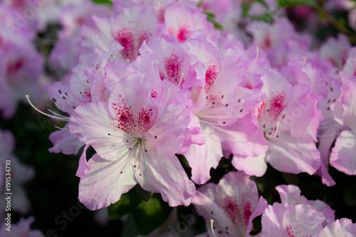 Canvas Azalea Azalea Flower