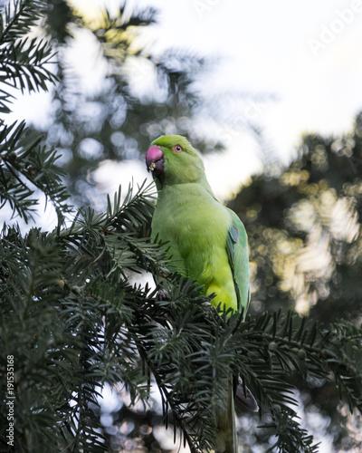 Fotobehang Papegaai Pappagallo verde