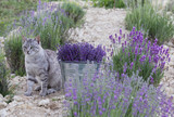 Wild cat is sitting in lavender field. Harvesting of lavender. Glittering metal bucket with aromatic flowers.