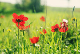 Spring blossom of the red flowers (anemones) on a green meadow - 191536785