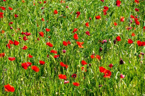 Foto op Plexiglas Klaprozen Field of blooming poppies