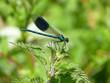 Banded Demoiselle, Brandon Marsh, Warwickshire, UK