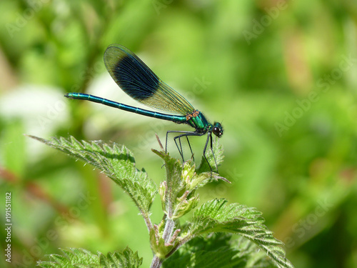 Deurstickers Natuur Banded Demoiselle, Brandon Marsh, Warwickshire, UK