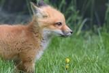 Fox Kit - 191551363