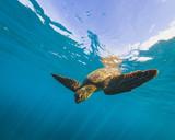 Hawaiian Green Sea Turtle - 191554596