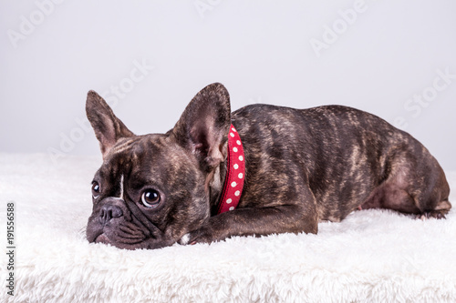 Canvas Franse bulldog French bulldog lying in red collar