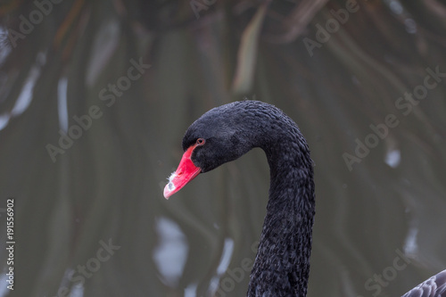 Aluminium Zwaan A black swan swimming on a lake