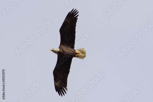 Aluminium Eagle Bald Eagles Flying