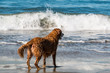 Quadro A Golden Retriever looks out to sea at Dog Beach in San Diego, California.