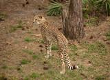 cheetah looking out of the serengeti