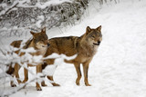 Wolves in the forest in winter  - 191602998