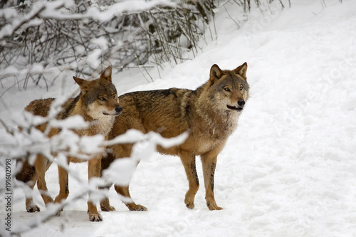 Aluminium Wolf Wolves in the forest in winter