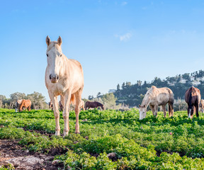 wild horses gazing in the meadow on a sunny day. white horse in the front