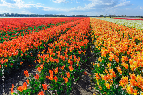 Fotobehang Tulpen Spring blooming tulip field, The Netherlands
