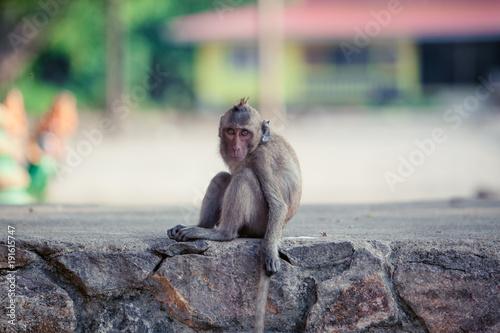 Fotobehang Aap Portrait of brown macaque monkey sitting on road