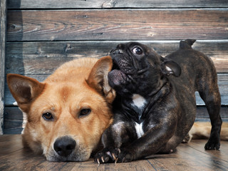 Funny French bulldog puppy chewing on the ear of a huge red dog