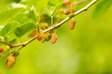 Mulberry berries on a tree in the nature - 191624983