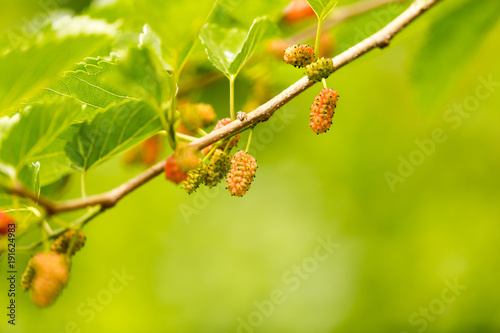 Foto Murales Mulberry berries on a tree in the nature