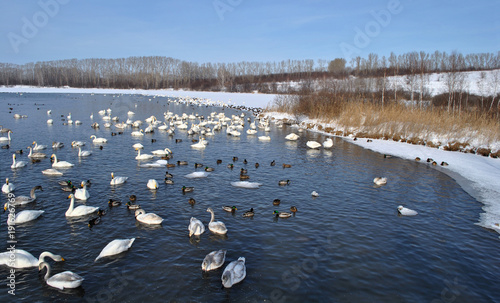 Aluminium Zwaan White swans on the lake in the winter season