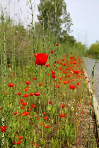 Fotobehang Klaprozen red poppies