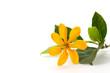 Isolated yellow gold flower of golden gardenia flower or Gardenia carinata Wallich in white background.
