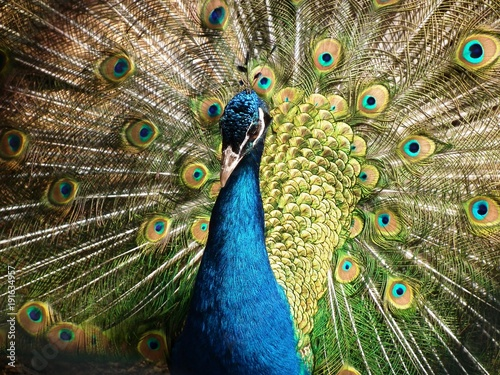 Fotobehang Pauw peacock, bird, feathers, animal, blue, colorful, tail