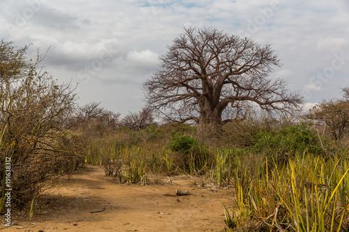 Fotobehang Baobab Baobabbaum (Adansonia digitata) - Afrikanischer Affenbrotbaum - Tansania