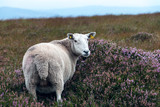 Grazing Sheep in Wicklow Mountains National Park, Co. Wicklow Ireland