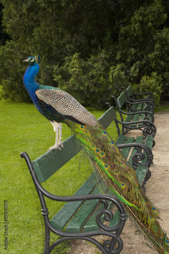 Fotobehang Pauw Peacock on the bench