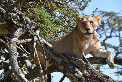 Fotobehang Lion Löwin ruht im Baum