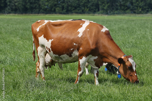 Dairy cows grazing on a pasture