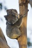 koala - 191645566