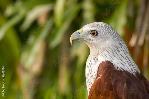 Aluminium Eagle Side profile of Brahminy kite