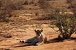 Löwe in der Savanne des Tsavo Ost in Kenia