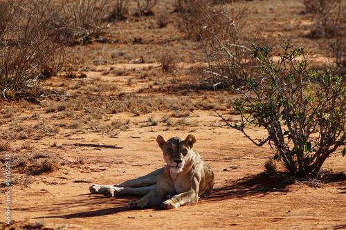 Fotobehang Lion Löwe in der Savanne des Tsavo Ost in Kenia
